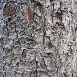 Pinus armandii (Chinese White Pine), bark, trunk