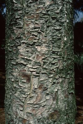 Pinus armandii (Chinese White Pine), bark, trunk