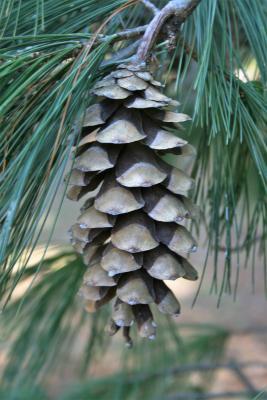 Pinus ×schwerinii (Schwerin's Pine), cone, mature