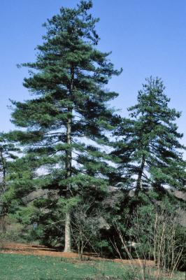 Pinus armandii (Chinese White Pine), habit, spring