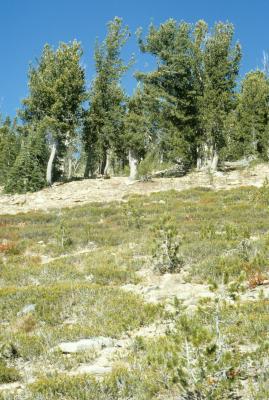 Pinus albicaulis (Whitebark Pine), Phyllodoce empetriformis (Pink Mountain Heather), Abies lasiocarpa (Subalpine Fir), habitat