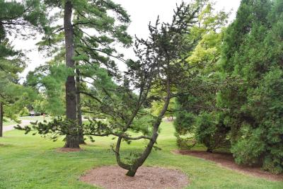 Pinus aristata (Rocky Mountain Bristlecone Pine), habit, summer