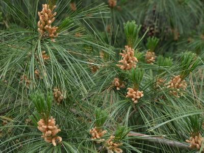 Pinus ×schwerinii (Schwerin's Pine), cone, pollen