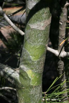Pinus bungeana (Lacebark Pine), bark, branch