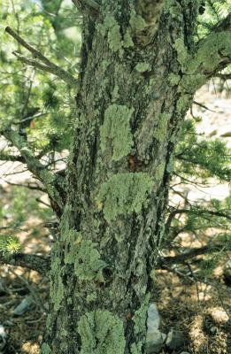 Pinus edulis (Pinyon Pine), bark, mature