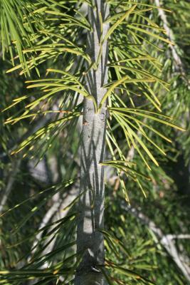 Pinus bungeana (Lacebark Pine), bark, twig