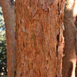 Pinus densiflora 'Umbraculifera' (Tanyosho Pine), bark, mature