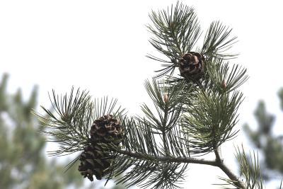 Pinus bungeana (Lacebark Pine), cone, mature