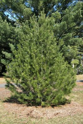 Pinus bungeana (Lacebark Pine), habit, spring