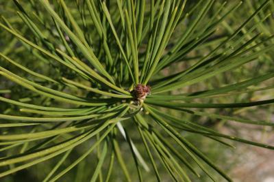 Pinus bungeana (Lacebark Pine), leaf, mature