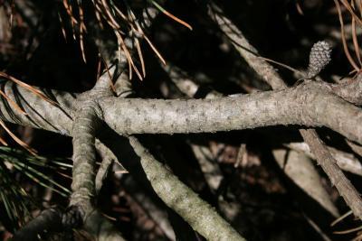 Pinus mugo mugo (Mugo Pine), bark, branch
