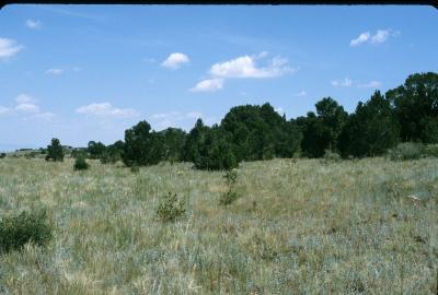 Pinus edulis (Pinyon Pine), habitat