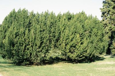 Pinus mugo (Mugo Pine), habit, spring