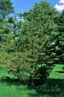 Pinus flexilis (Limber Pine), habit, spring