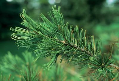 Pinus flexilis (Limber Pine), leaf, summer