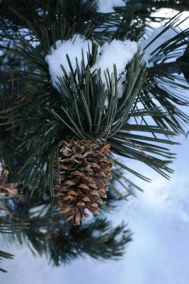 Pinus heldreichii (Heldreich Pine), cone, mature