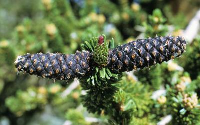 Pinus longaeva (Bristlecone Pine), cone, mature