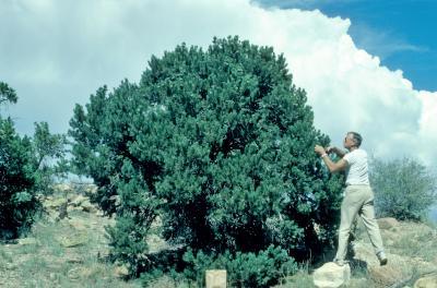 Pinus edulis (Pinyon Pine), Ray Schulenberg collecting cones, habit, fall