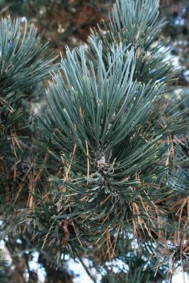 Pinus heldreichii (Heldreich Pine), leaf, mature