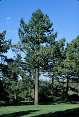 Pinus jeffreyi (Jeffrey Pine), habit, fall