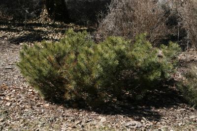 Pinus mugo mugo (Mugo Pine), habit, winter