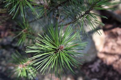 Pinus mugo (Mugo Pine), leaf, summer