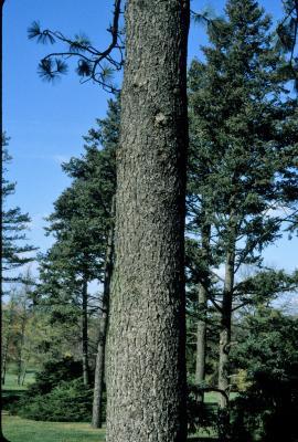 Pinus jeffreyi (Jeffrey Pine), bark, trunk