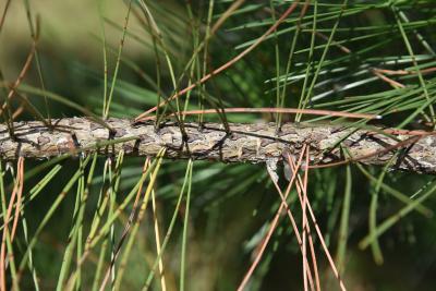Pinus nigra (Austrian Pine), bark, branch