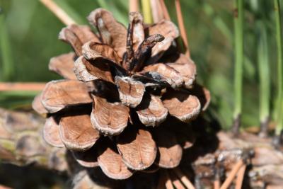 Pinus nigra (Austrian Pine), cone, mature