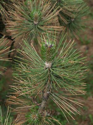 Pinus nigra (Austrian Pine), leaf, spring