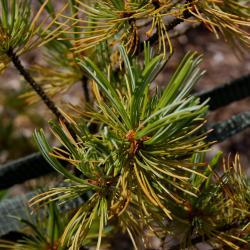 Pinus parviflora 'Blue Wave' (Blue Wave Japanese White Pine), leaf, summer