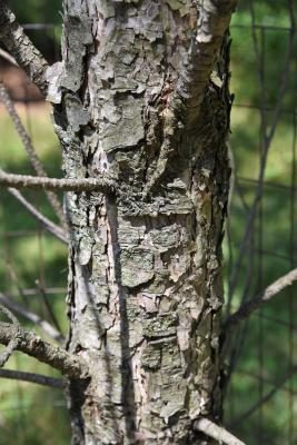 Pinus nigra (Austrian Pine), bark, mature