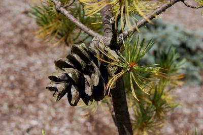 Pinus parviflora 'Blue Wave' (Blue Wave Japanese White Pine), cone, mature