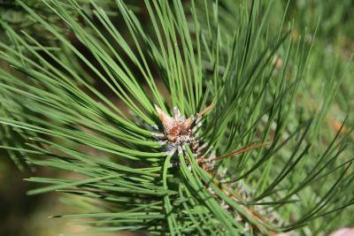 Pinus nigra (Austrian Pine), bud, terminal