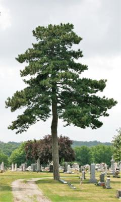 Pinus nigra (Austrian Pine), habit, summer