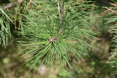 Pinus nigra (Austrian Pine), leaf, summer