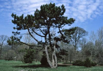 Pinus nigra (Austrian Pine), habit, spring