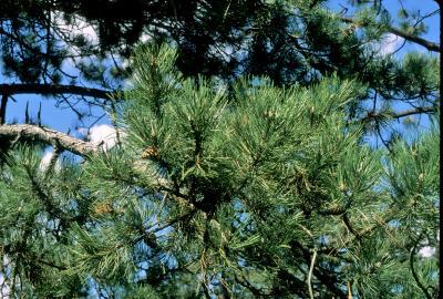 Pinus nigra (Austrian Pine), leaf, mature