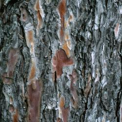 Pinus resinosa (Red Pine), bark, mature