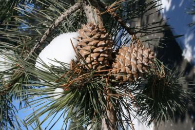 Pinus pungens (Table Mountain Pine), cone, mature