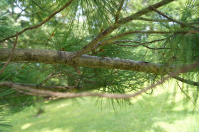 Pinus strobus (Eastern White Pine), bark, branch