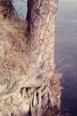 Pinus resinosa (Red Pine), root