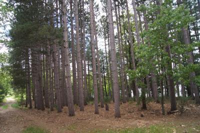 Pinus resinosa (Red Pine), habit, summer