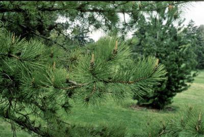 Pinus rigida (Pitch Pine), bark, branch