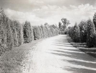 Arborvitae alongside Lake Road, south side of Lake Marmo