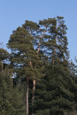 Pinus sylvestris (Scots Pine), habit, winter