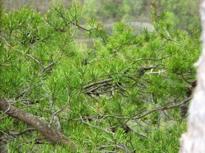 Pinus virginiana (Virginia Pine), habit, spring