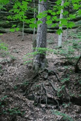 Pinus strobus (Eastern White Pine), roots
