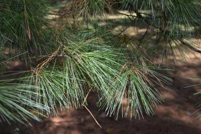 Pinus strobus (Eastern White Pine), leaf, fall