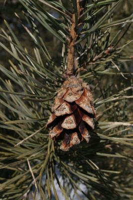 Pinus sylvestris (Scots Pine), cone, mature